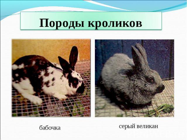 Породы кроликов бабочкасерый великан