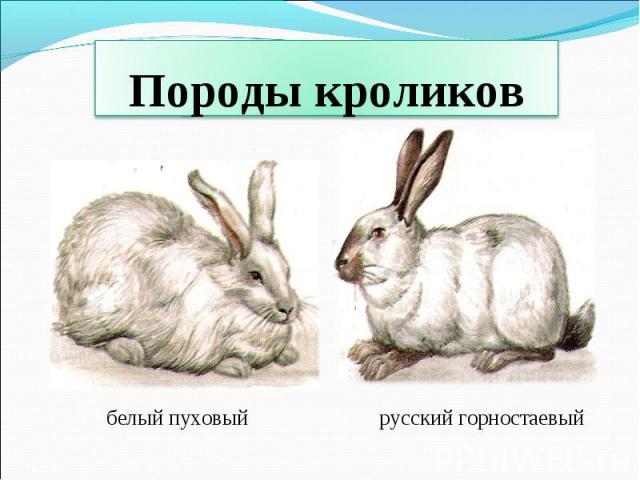 Породы кроликов белый пуховыйрусский горностаевый