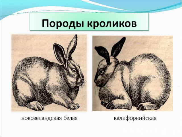 Породы кроликов новозеландская белаякалифорнийская
