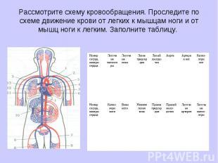 Рассмотрите схему кровообращения. Проследите по схеме движение крови от легких к