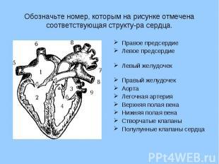 Обозначьте номер, которым на рисунке отмечена соответствующая структура сердца.