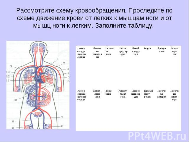 Рассмотрите схему кровообращения. Проследите по схеме движение крови от легких к мышцам ноги и от мышц ноги к легким. Заполните таблицу.