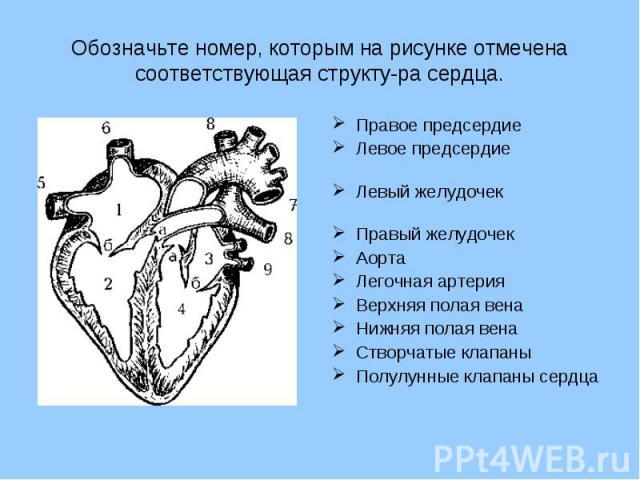 Обозначьте номер, которым на рисунке отмечена соответствующая структура сердца. Правое предсердиеЛевое предсердиеЛевый желудочекПравый желудочекАортаЛегочная артерияВерхняя полая венаНижняя полая вена Створчатые клапаны Полулунные клапаны сердца