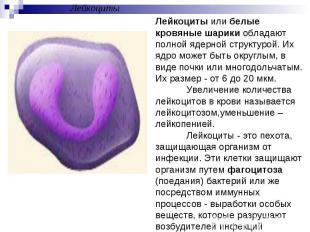 ЛейкоцитыЛейкоциты или белые кровяные шарики обладают полной ядерной структурой.