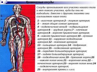 Кровеносные сосуды Cосуды пронизывают все участки нашего тела и нет такого участ