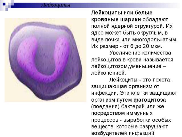 ЛейкоцитыЛейкоциты или белые кровяные шарики обладают полной ядерной структурой. Их ядро может быть округлым, в виде почки или многодольчатым. Их размер - от 6 до 20 мкм. Увеличение количества лейкоцитов в крови называется лейкоцитозом,уменьшение – …