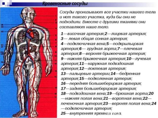 Кровеносные сосуды Cосуды пронизывают все участки нашего тела и нет такого участка, куда бы они не подходили. Вместе с другими тканями они составляют наше тело. 1—височная артерия;2—лицевая артерия;3— левая общая сонная артерия;4—подключичная вена;5…