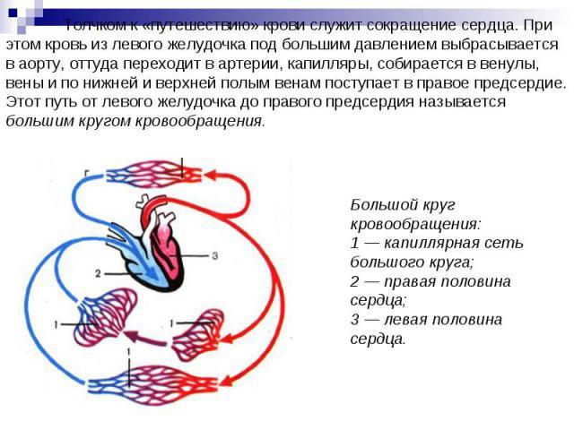 Толчком к «путешествию» крови служит сокращение сердца. При этом кровь из левого желудочка под большим давлением выбрасывается в аорту, оттуда переходит в артерии, капилляры, собирается в венулы, вены и по нижней и верхней полым венам поступает в пр…