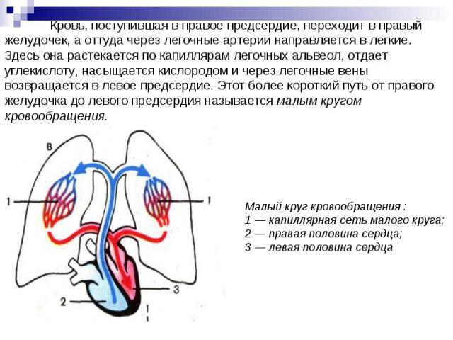 Кровь, поступившая в правое предсердие, переходит в правый желудочек, а оттуда через легочные артерии направляется в легкие. Здесь она растекается по капиллярам легочных альвеол, отдает углекислоту, насыщается кислородом и через легочные вены возвра…