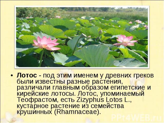 Лотос - под этим именем у древних греков были известны разные растения, различали главным образом египетские и кирейскиe лотосы. Лотос, упоминаемый Теофрастом, есть Zizyphus Lotos L., кустарное растение из семейства крушинных (Rhamnaceae).