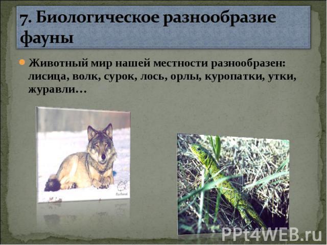 7. Биологическое разнообразие фауны Животный мир нашей местности разнообразен: лисица, волк, сурок, лось, орлы, куропатки, утки, журавли…