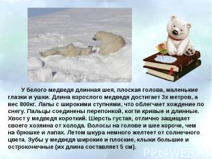 У белого медведя длинная шея, плоская голова, маленькие глазки и ушки. Длина взр