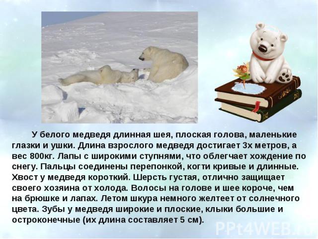 У белого медведя длинная шея, плоская голова, маленькие глазки и ушки. Длина взрослого медведя достигает 3х метров, а вес 800кг. Лапы с широкими ступнями, что облегчает хождение по снегу. Пальцы соединены перепонкой, когти кривые и длинные. Хвост у …