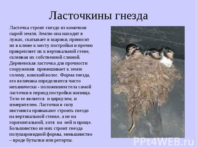 Ласточкины гнезда Ласточка строит гнездо из комочков сырой земли. Землю она находит в лужах, скатывает в шарики, приносит их в клюве к месту постройки и прочно прикрепляет их к вертикальной стене, склеивая их собственной слюной. Деревенская ласточка…
