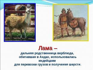 Лама –дальняя родственница верблюда, обитавшая в Андах, использовалась индейцами