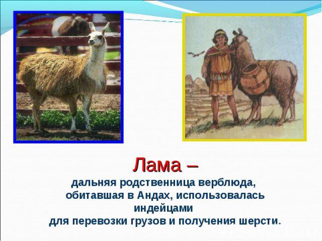 Лама –дальняя родственница верблюда, обитавшая в Андах, использовалась индейцами для перевозки грузов и получения шерсти.