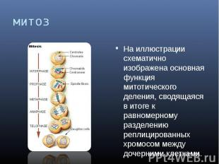 митоз На иллюстрации схематично изображена основная функция митотического делени