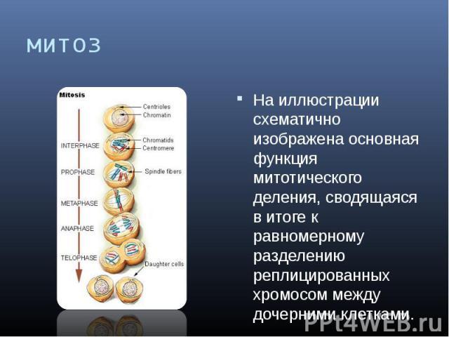 митоз На иллюстрации схематично изображена основная функция митотического деления, сводящаяся в итоге к равномерному разделению реплицированных хромосом между дочерними клетками.