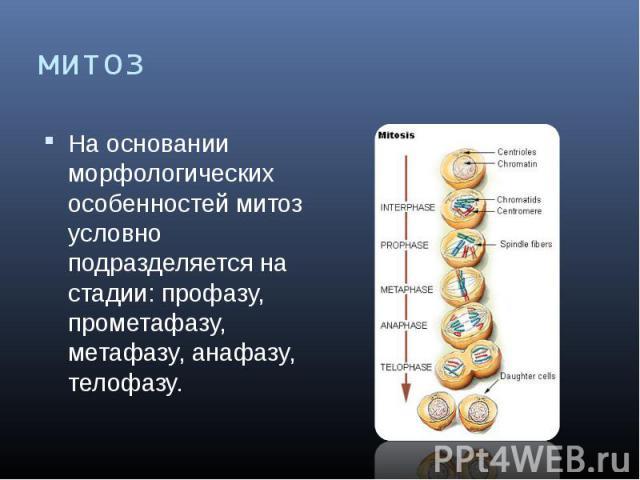 митоз На основании морфологических особенностей митоз условно подразделяется на стадии: профазу, прометафазу, метафазу, анафазу, телофазу.
