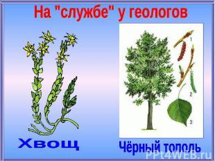 """На """"службе"""" у геологовХвощЧёрный тополь"""