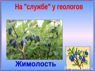 """На """"службе"""" у геологовЖимолость"""
