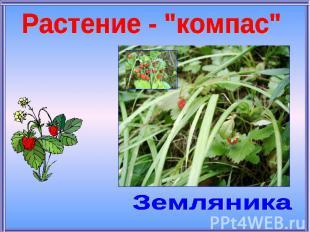 """Растение - """"компас""""Земляника"""