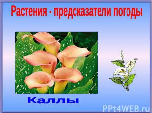 Растения - предсказатели погодыКаллы