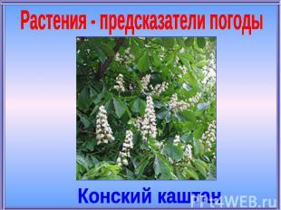 Растения - предсказатели погодыКонский каштан