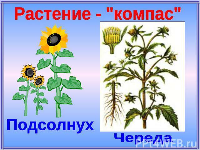 Растение -
