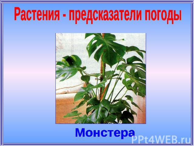 Растения - предсказатели погодыМонстера