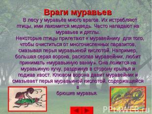 Враги муравьев В лесу у муравьёв много врагов. Их истребляютптицы, ими лакомится
