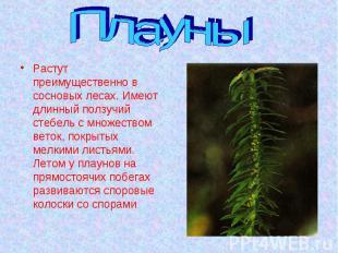 Плауны Растут преимущественно в сосновых лесах. Имеют длинный ползучий стебель с