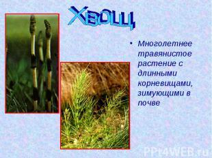 Хвощ Многолетнее травянистое растение с длинными корневищами, зимующими в почве
