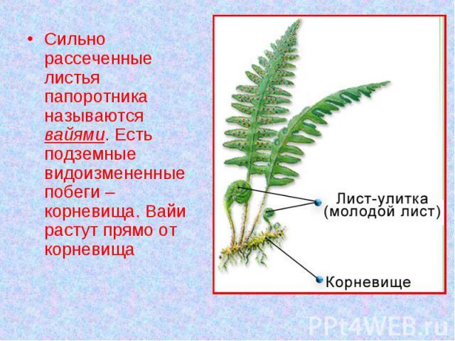 Сильно рассеченные листья папоротника называются вайями. Есть подземные видоизмененные побеги – корневища. Вайи растут прямо от корневища