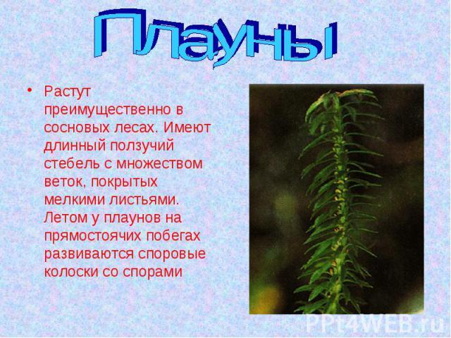 Плауны Растут преимущественно в сосновых лесах. Имеют длинный ползучий стебель с множеством веток, покрытых мелкими листьями. Летом у плаунов на прямостоячих побегах развиваются споровые колоски со спорами