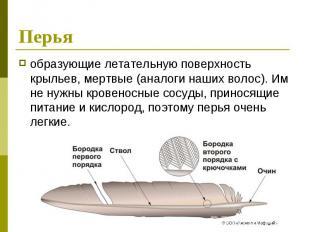 Перья образующие летательную поверхность крыльев, мертвые (аналоги наших волос).