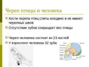 Череп птицы и человека Кости черепа птиц слиты воедино и не имеют черепных швов