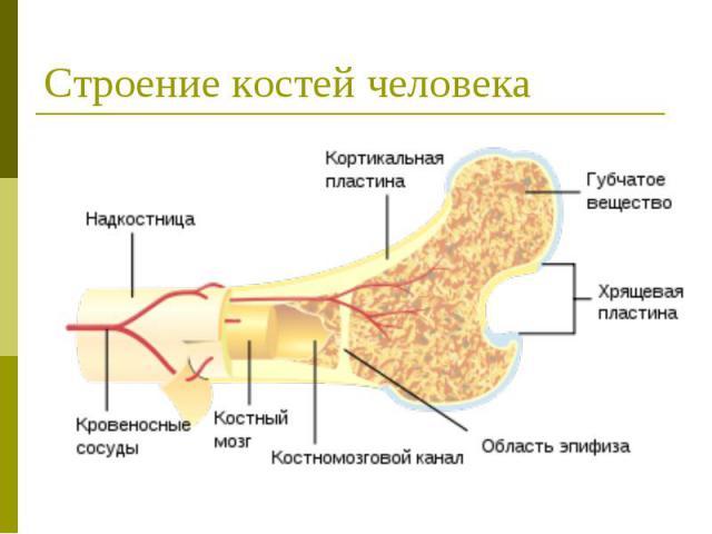 Строение костей человека