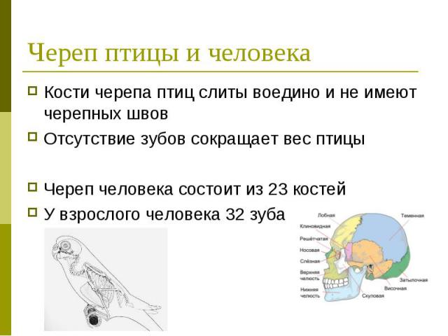 Череп птицы и человека Кости черепа птиц слиты воедино и не имеют черепных швов Отсутствие зубов сокращает вес птицыЧереп человека состоит из 23 костейУ взрослого человека 32 зуба