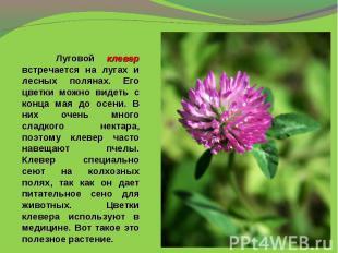 Луговой клевер встречается на лугах и лесных полянах. Его цветки можно видеть с