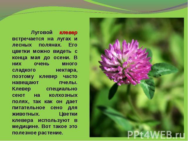 Луговой клевер встречается на лугах и лесных полянах. Его цветки можно видеть с конца мая до осени. В них очень много сладкого нектара, поэтому клевер часто навещают пчелы. Клевер специально сеют на колхозных полях, так как он дает питательное сено …