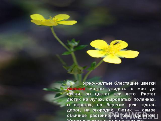Ярко-желтые блестящие цветки лютика можно увидеть с мая до осени, он цветет все лето. Растет лютик на лугах, сыроватых полянках, в оврагах, по берегам рек, вдоль дорог, на огородах. Лютик — самое обычное растение, но оно ядовитое. Животные это знают…