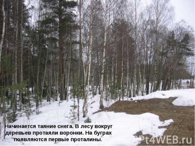 Начинается таяние снега. В лесу вокруг деревьев протаяли воронки. На буграх появляются первые проталины.