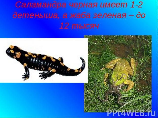 Саламандра черная имеет 1-2 детеныша, а жаба зеленая – до 12 тысяч