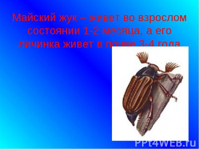 Майский жук – живет во взрослом состоянии 1-2 месяца, а его личинка живет в почве 3-4 года