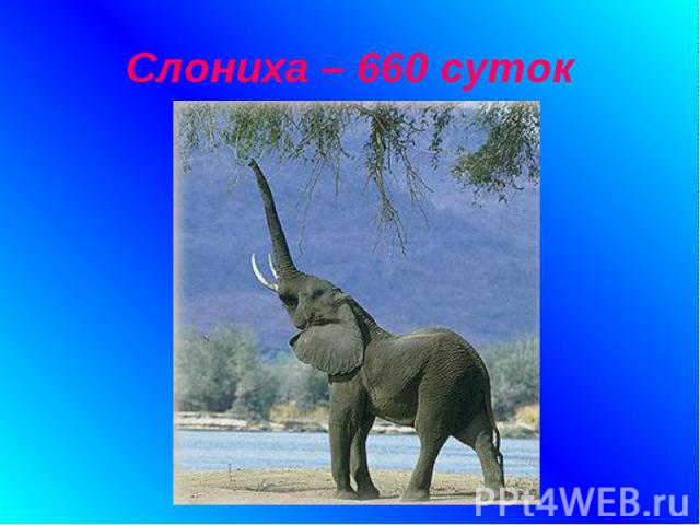 Слониха – 660 суток