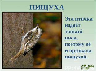 ПИЩУХА Эта птичка издаёт тонкий писк, поэтому её и прозвали пищухой.