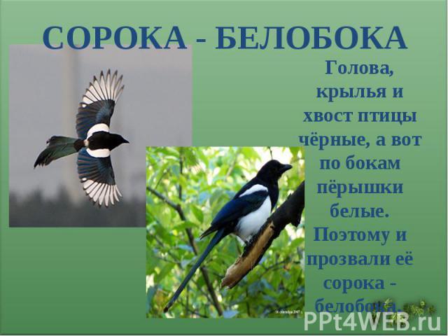 СОРОКА - БЕЛОБОКА Голова, крылья и хвост птицы чёрные, а вот по бокам пёрышки белые. Поэтому и прозвали её сорока - белобока.