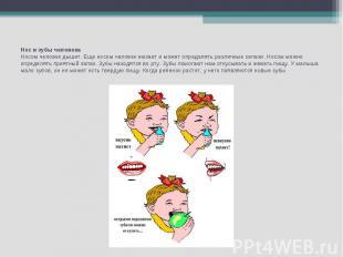 Нос и зубы человекаНосом человек дышит. Еще носом человек нюхает и может определ