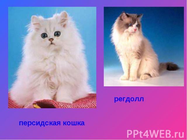 персидская кошкарегдолл